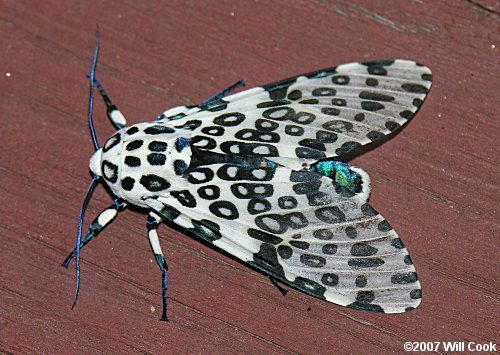 Leopard Moth coloring #10, Download drawings