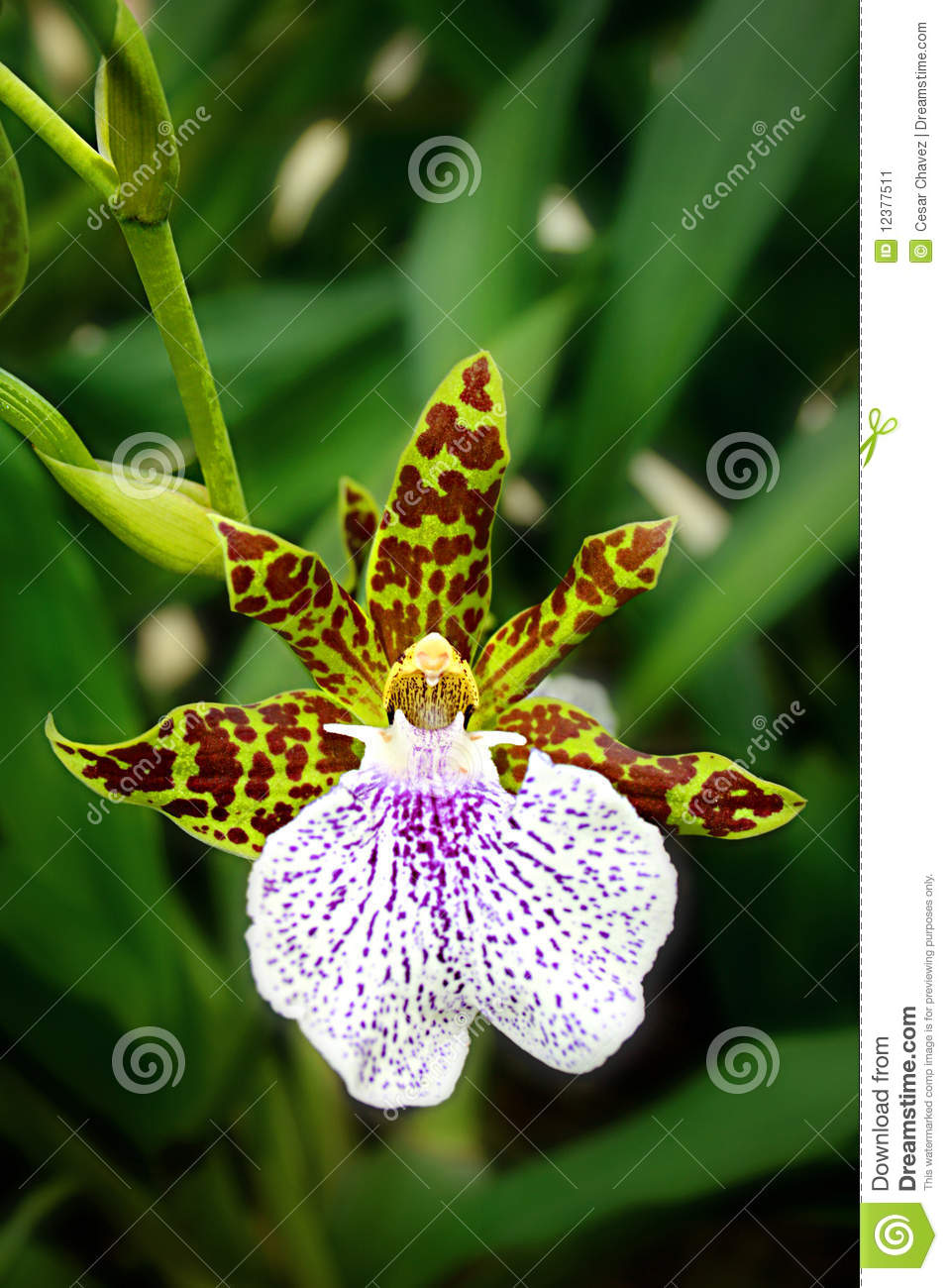 Leopard Orchid clipart #20, Download drawings