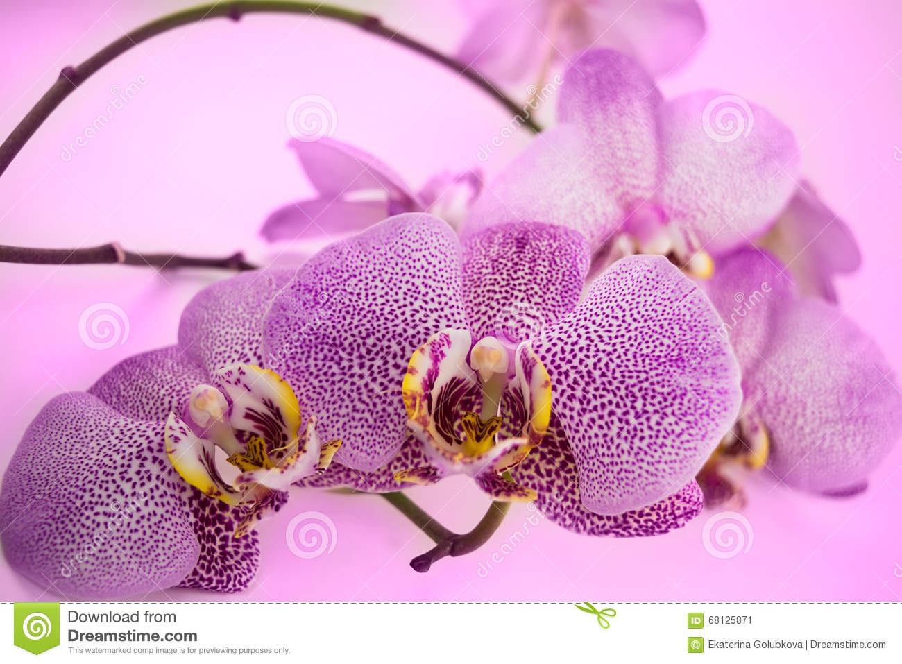 Leopard Orchid clipart #14, Download drawings