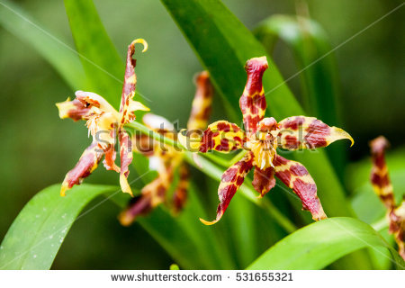 Leopard Orchid clipart #16, Download drawings