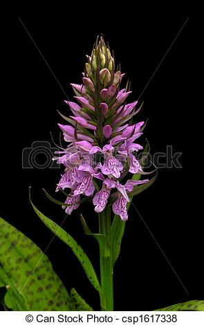 Leopard Orchid clipart #13, Download drawings