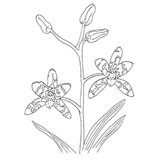 Leopard Orchid coloring #1, Download drawings