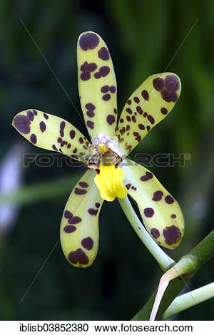 Leopard Orchid clipart #17, Download drawings