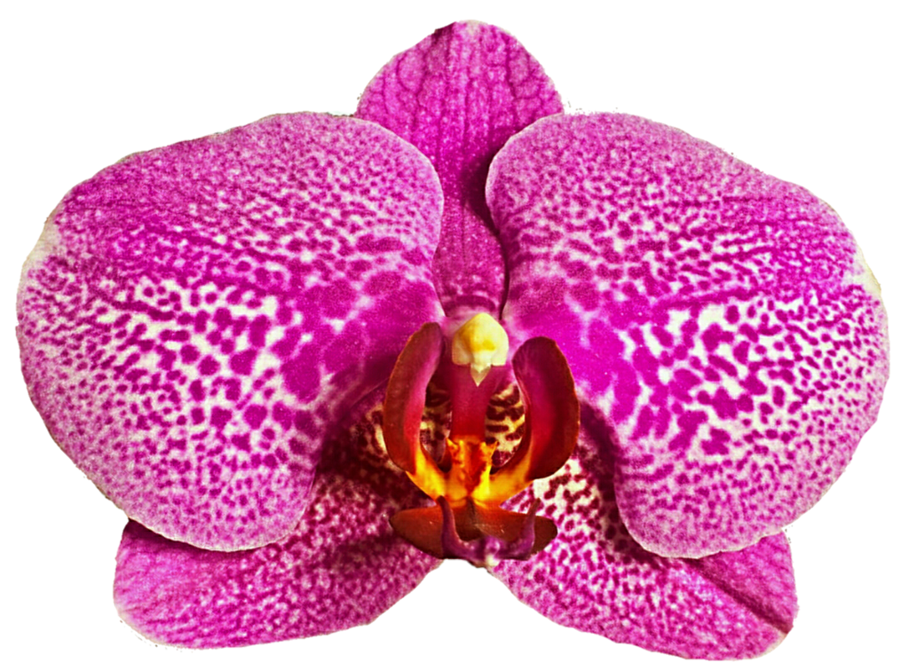 Leopard Orchid clipart #9, Download drawings