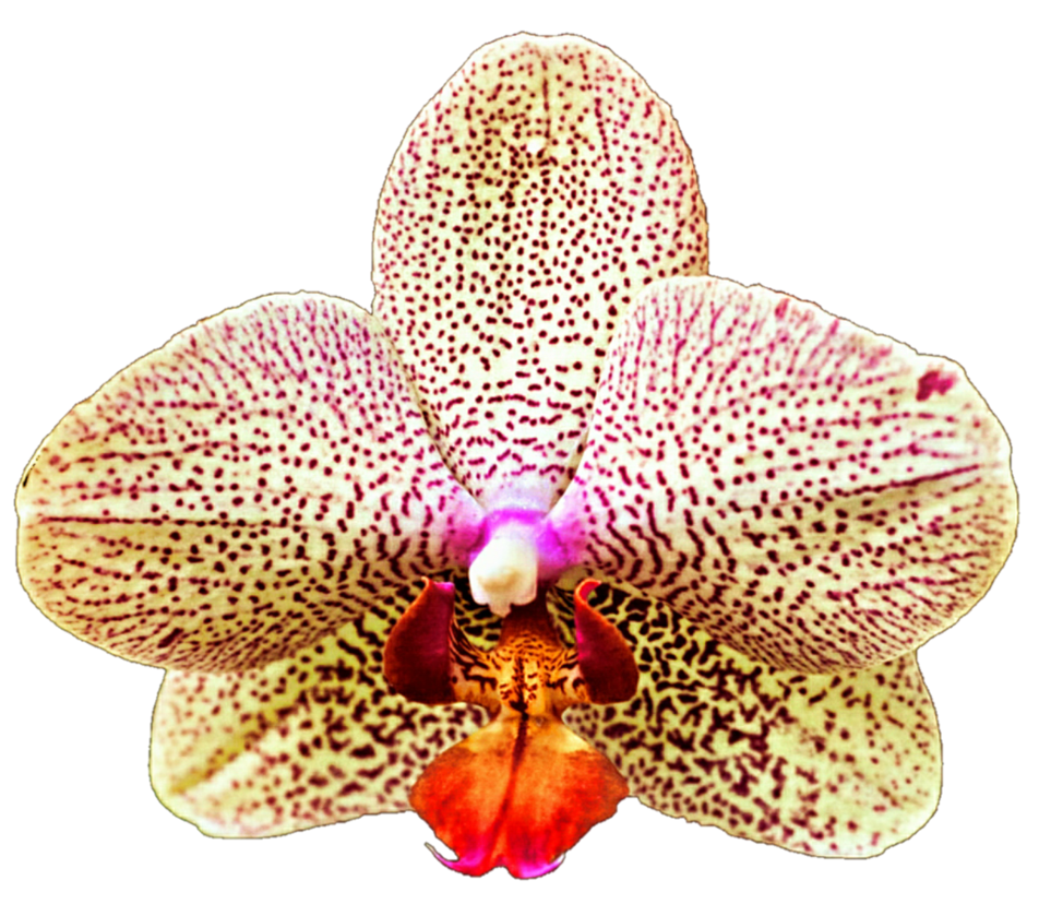 Leopard Orchid clipart #8, Download drawings