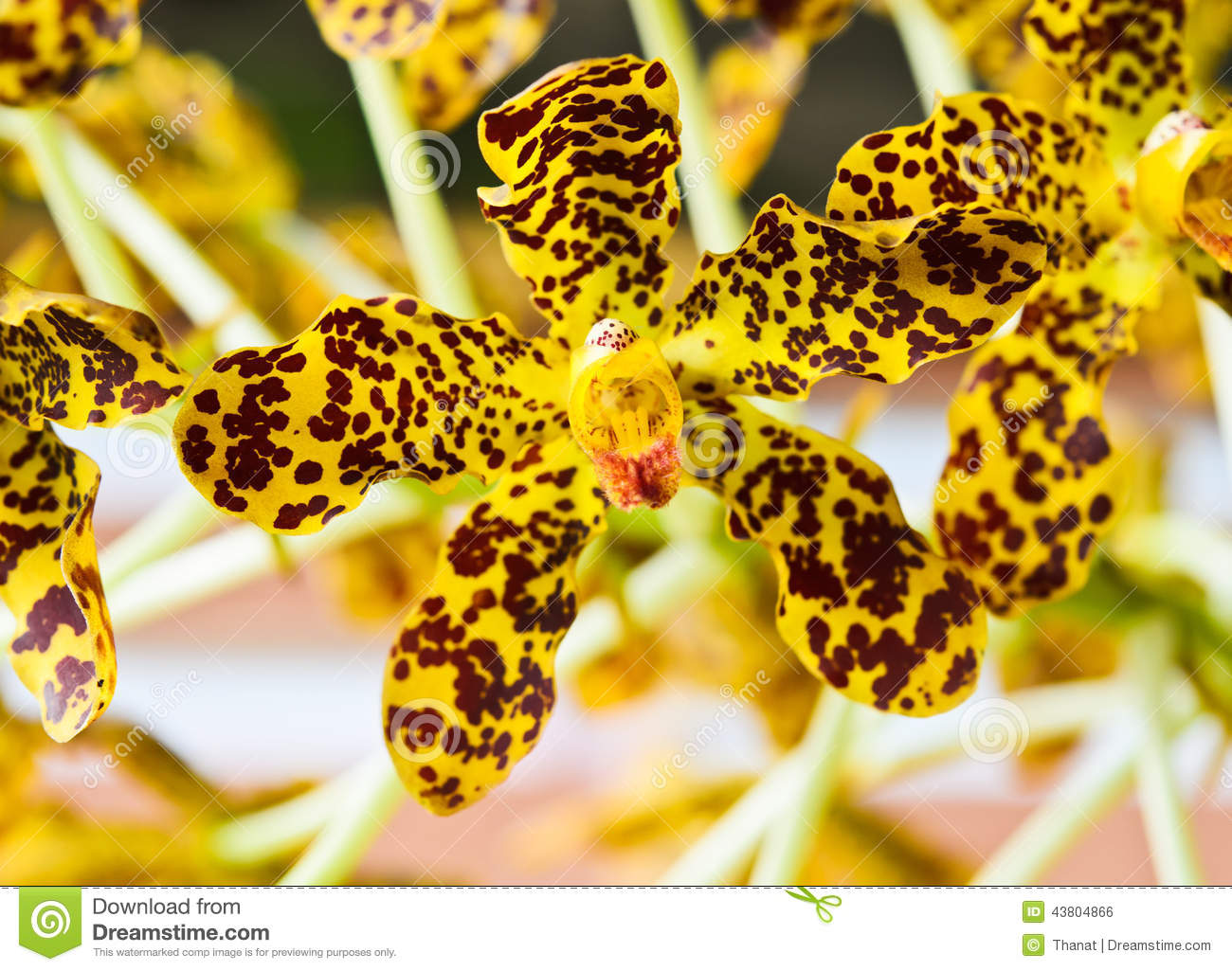Leopard Orchid clipart #19, Download drawings