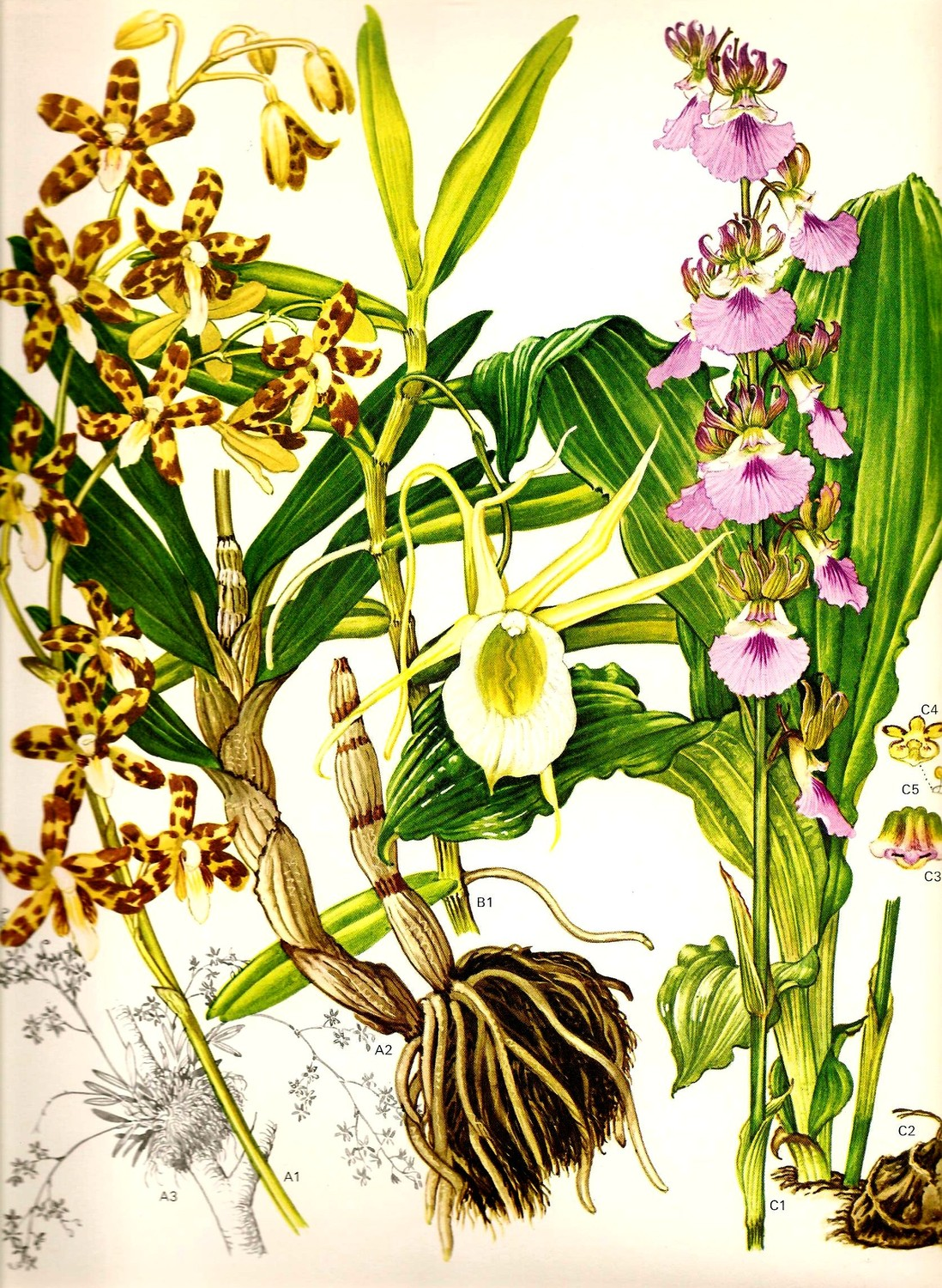 Leopard Orchid clipart #12, Download drawings