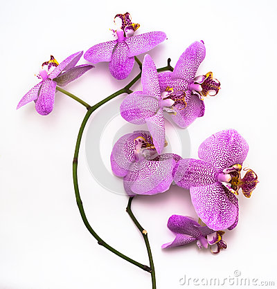 Leopard Orchid clipart #18, Download drawings