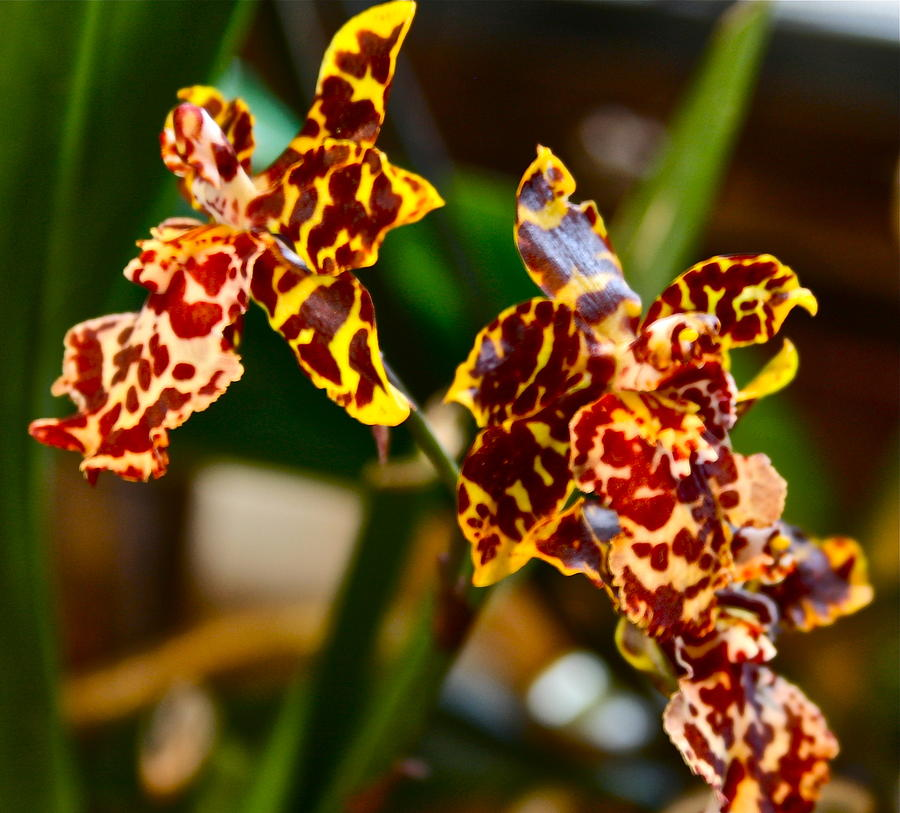 Leopard Orchid clipart #15, Download drawings