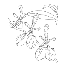 Leopard Orchid coloring #16, Download drawings