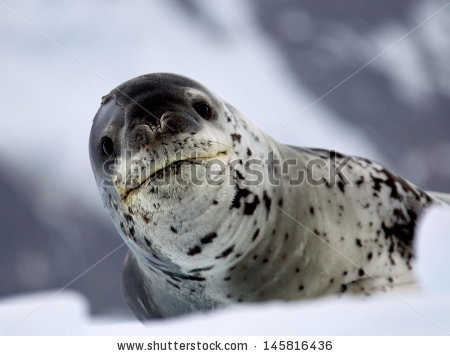 Leopard Seal clipart #11, Download drawings