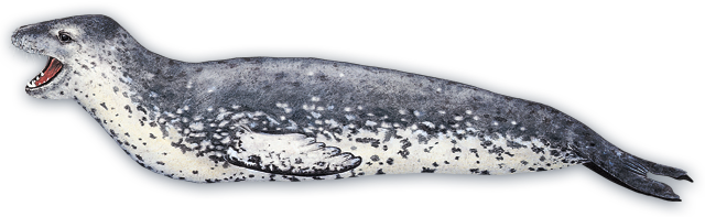 Leopard Seal clipart #7, Download drawings