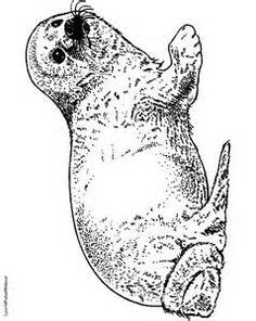 Leopard Seal coloring #5, Download drawings