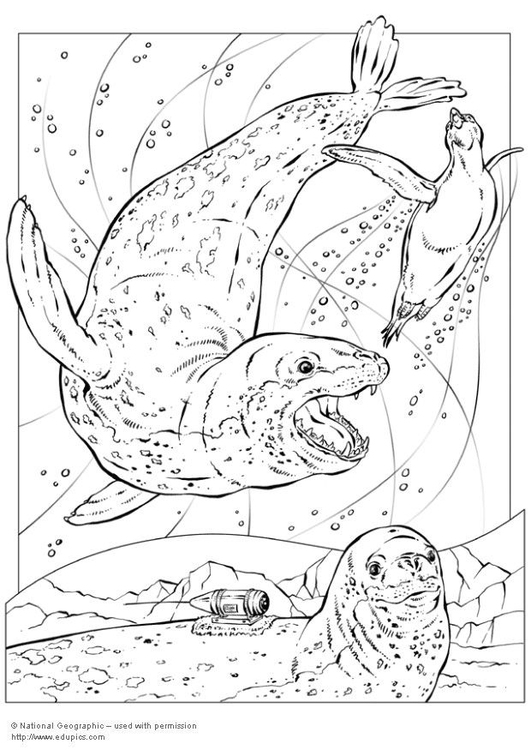 Leopard Seal coloring #7, Download drawings
