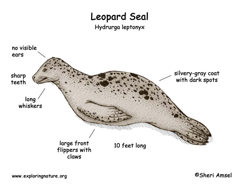 Leopard Seal coloring #17, Download drawings