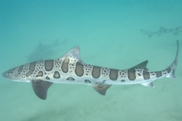 Leopard Shark clipart #15, Download drawings