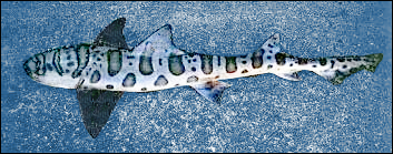 Leopard Shark clipart #5, Download drawings