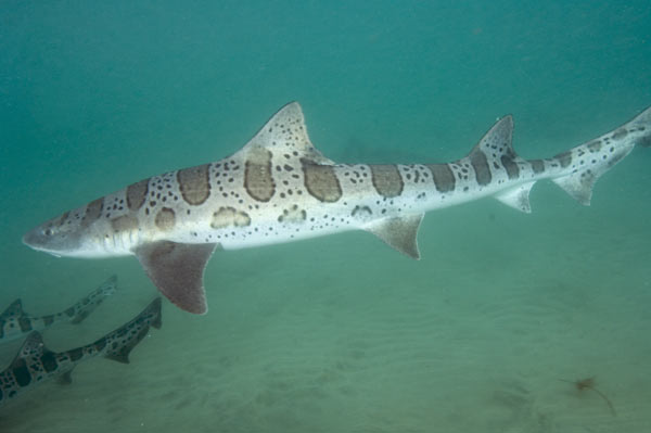 Leopard Shark clipart #20, Download drawings