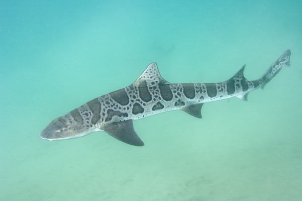 Leopard Shark clipart #17, Download drawings