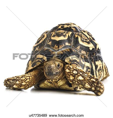 Leopard Tortoise clipart #17, Download drawings