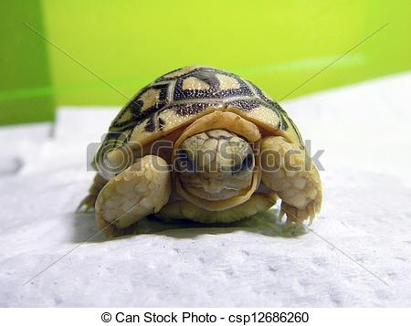 Leopard Tortoise clipart #8, Download drawings