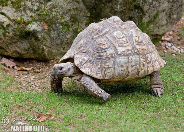 Leopard Tortoise clipart #7, Download drawings