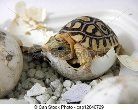 Leopard Tortoise clipart #11, Download drawings