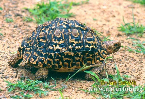 Leopard Tortoise clipart #4, Download drawings