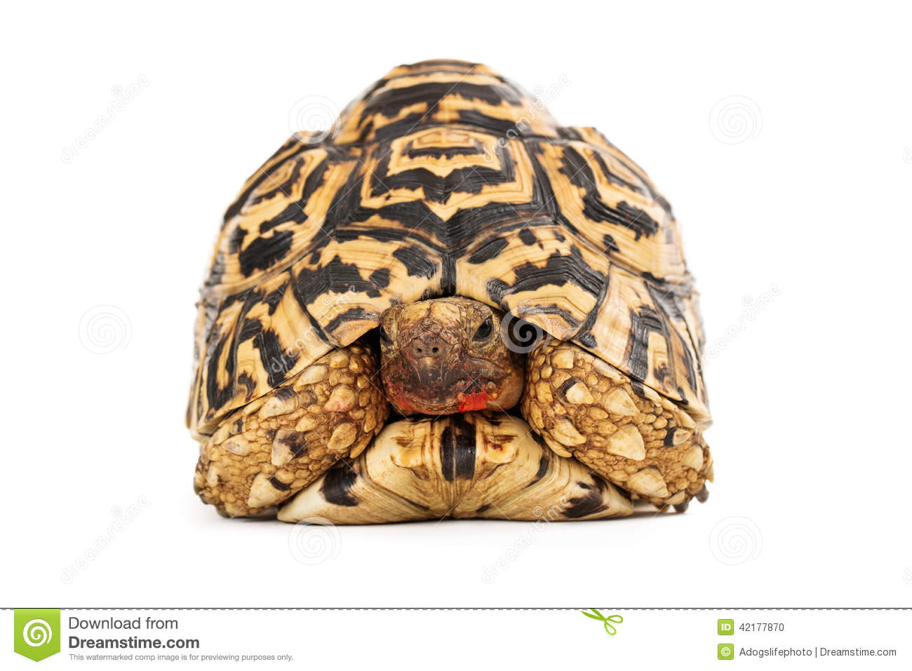 Leopard Tortoise clipart #5, Download drawings