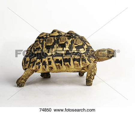 Leopard Tortoise clipart #6, Download drawings
