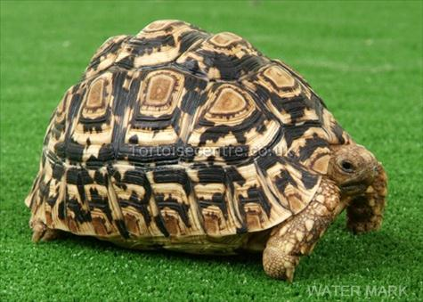 Leopard Tortoise clipart #2, Download drawings
