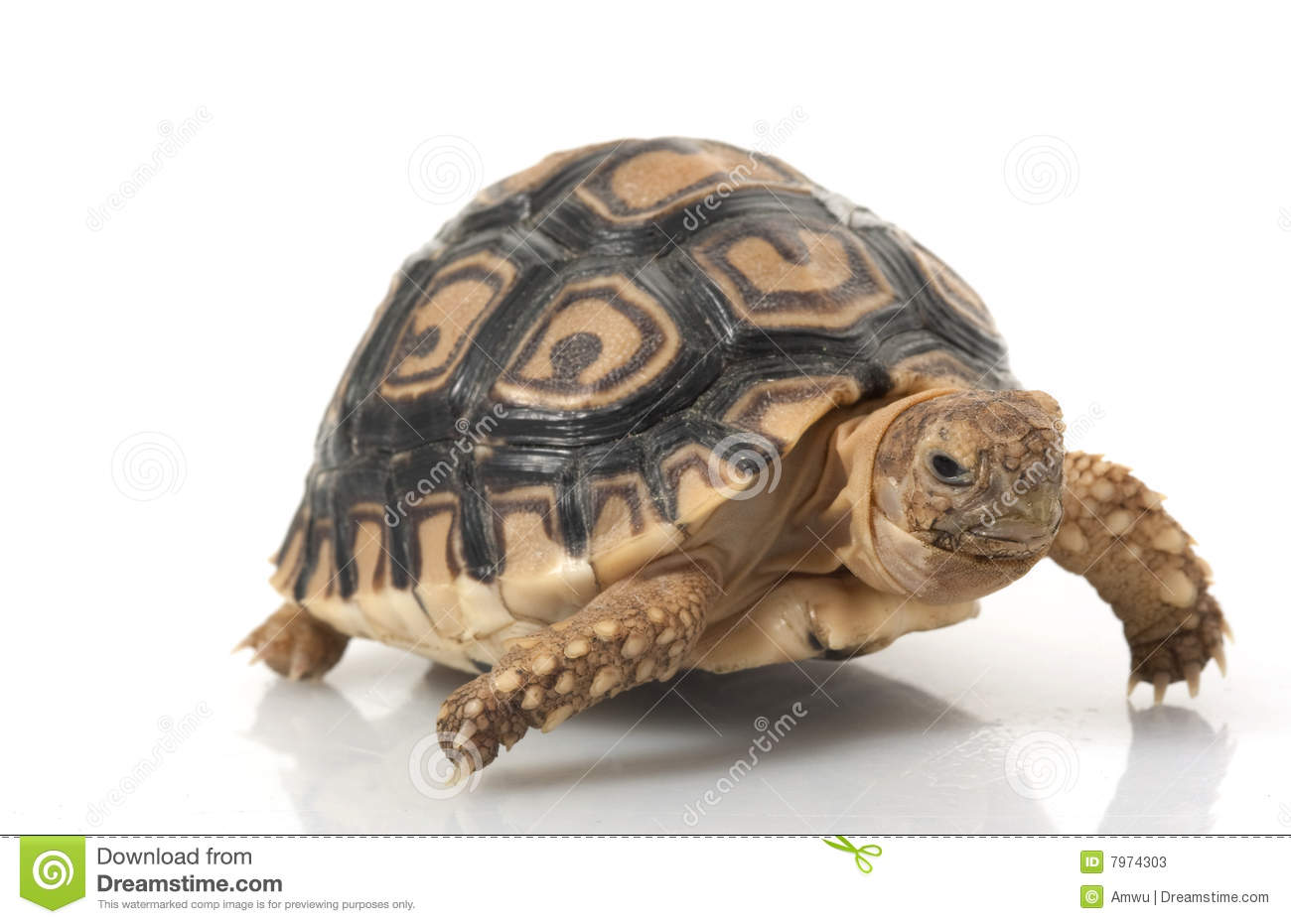 Leopard Tortoise clipart #19, Download drawings