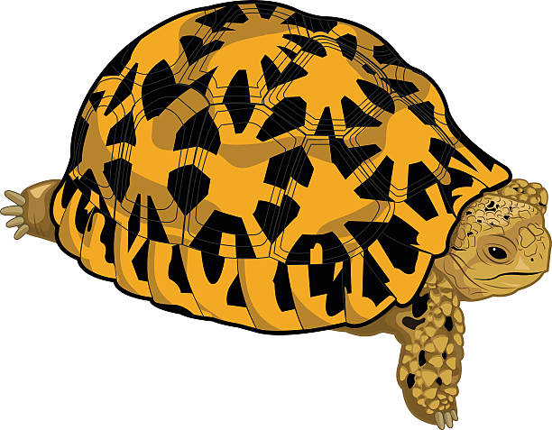 Leopard Tortoise clipart #13, Download drawings