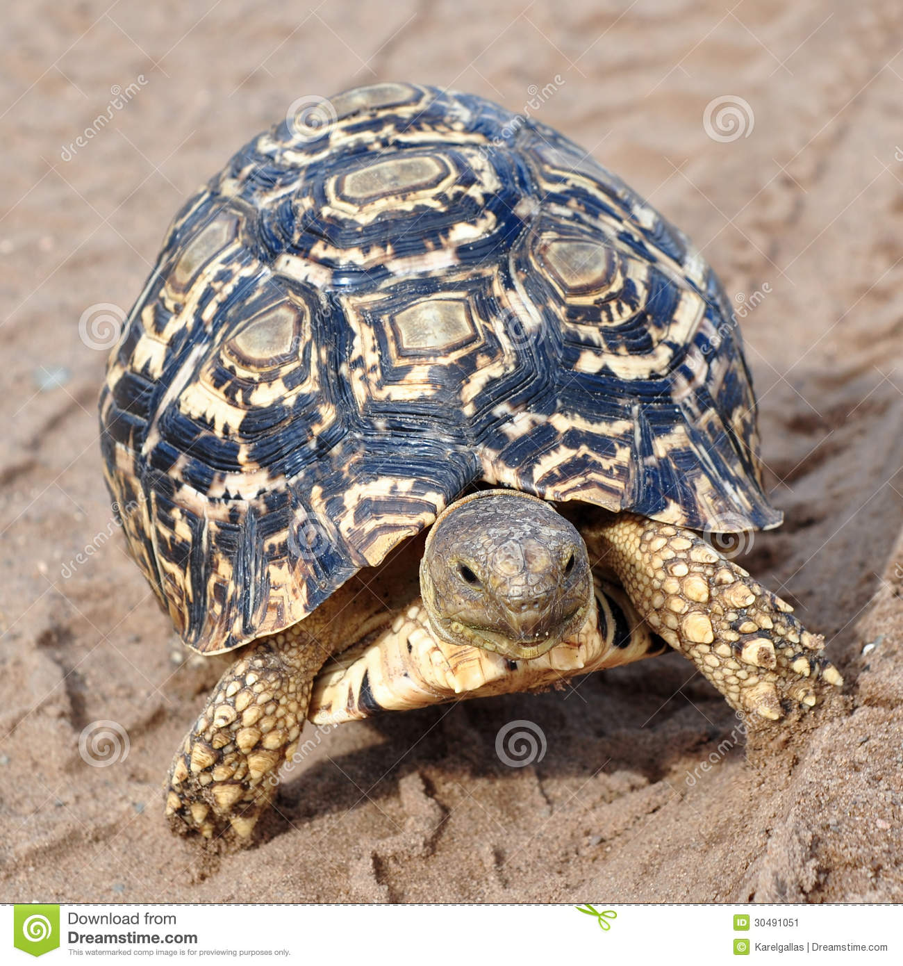Leopard Tortoise clipart #16, Download drawings