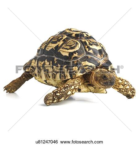 Leopard Tortoise clipart #9, Download drawings