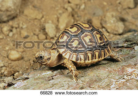 Leopard Tortoise clipart #10, Download drawings