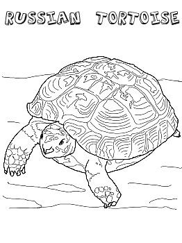 Sulcata Tortoise coloring #18, Download drawings