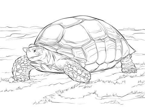 Leopard Tortoise coloring #11, Download drawings