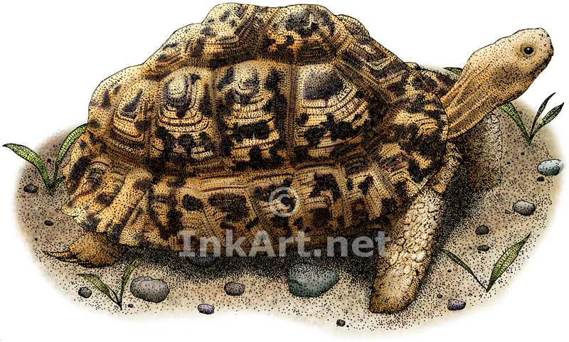 Leopard Tortoise coloring #1, Download drawings