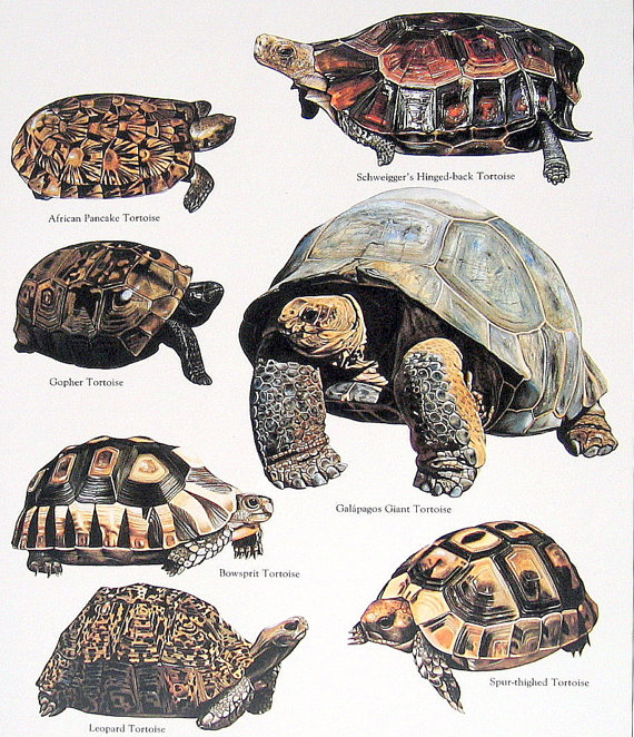 Leopard Tortoise coloring #19, Download drawings