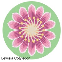 Lewisia clipart #4, Download drawings