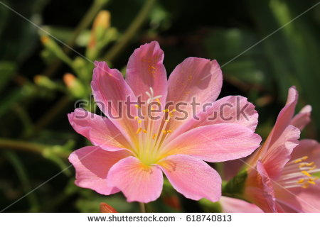 Lewisia clipart #5, Download drawings