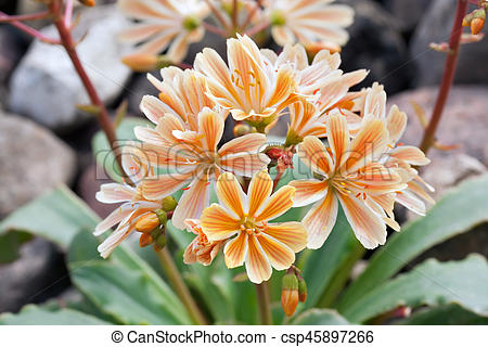 Lewisia clipart #18, Download drawings