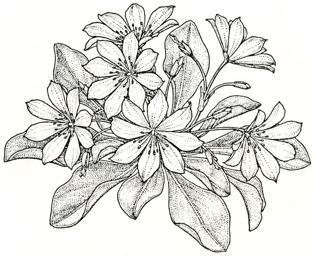 Lewisia coloring #13, Download drawings