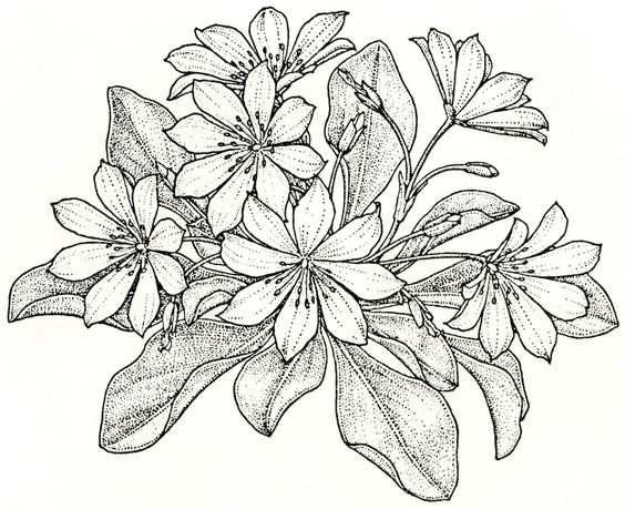 Lewisia coloring #10, Download drawings