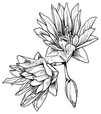Lewisia coloring #20, Download drawings
