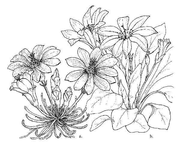 Lewisia coloring #2, Download drawings