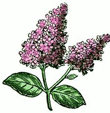 Lilac clipart #20, Download drawings