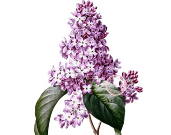 Lilac clipart #7, Download drawings