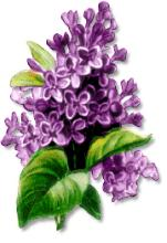Lilac clipart #19, Download drawings